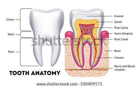 Vector Tooth Download Free Vector Art Stock Graphics Images