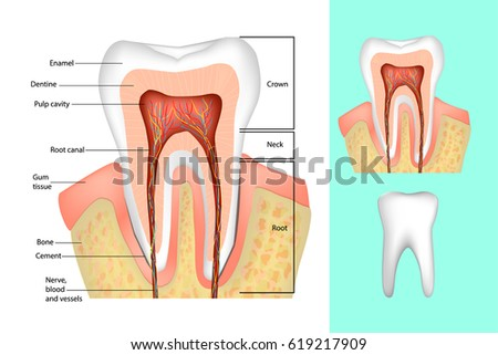 Tooth structure. Medical diagram of the structure of the inside cross-section of the tooth