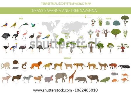 Tree savanna and grass savanna biome, natural region infographic. Woodland and grassland savannah, prarie, pampa. Animals, birds and vegetations ecosystem design set. Vector illustration Photo stock ©