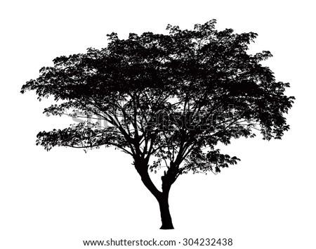 tree silhouette   samanea saman