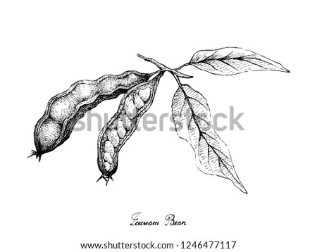 Tropical Fruits, Illustration of Hand Drawn Sketch Ice Cream Beans, Pacay or Inga Edulis Fruits Isolated on White Background. Good Source of Dietary Fiber, Vitamins and Minerals. Stock photo ©