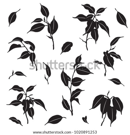 Tropical plant parts set. Silhouette of ficus Benjamina branches and leaves isolated on white. Monochrome vector flat illustration.