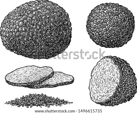 Truffle illustration, drawing, engraving, ink, line art, vector Сток-фото ©