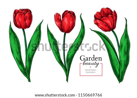 tulip flower and leaves drawing