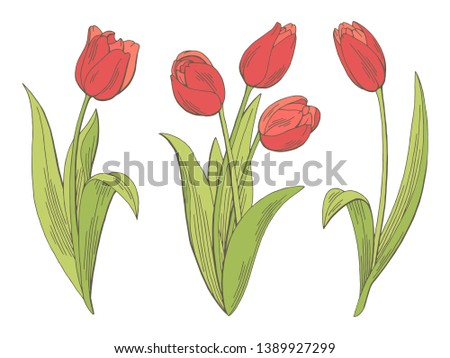 Tulip flower graphic color isolated sketch illustration vector Stock photo ©