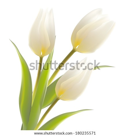 tulip flower isolated over