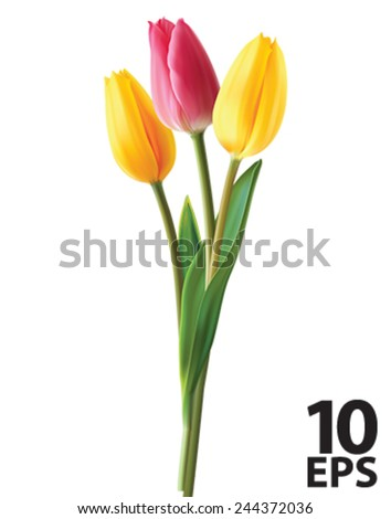 tulip flowers isolated vector