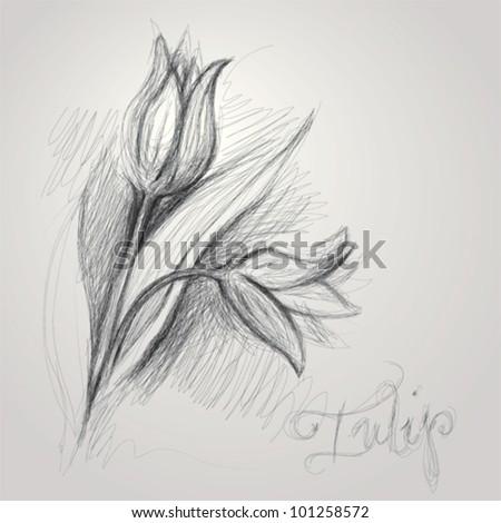 Tulip / Realistic sketch of flower