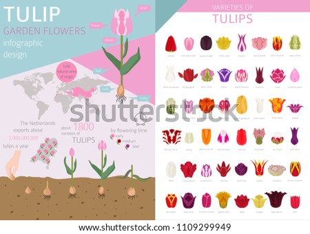 Tulip varieties flat icon set. Garden flower and house plants infographic. Vector illustration