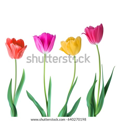 tulips color vector tulips