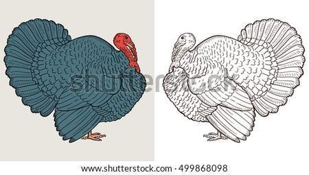 turkey isolated on white