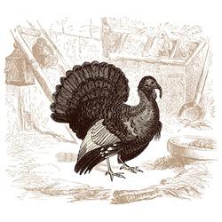 Turkey - - vintage engraved illustration -