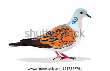Turtle dove. Vector image. White background.  Zdjęcia stock ©