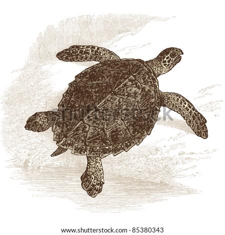 turtle - vintage engraved illustration -