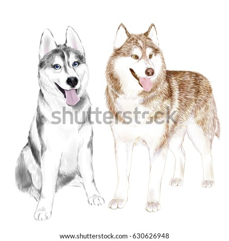two adult siberian husky dogs