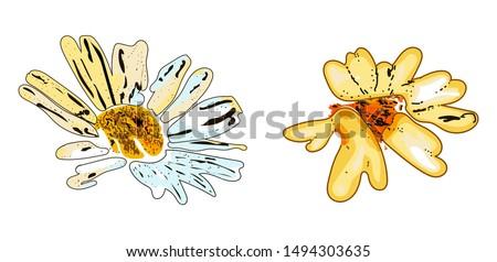 two beautiful daisy flower