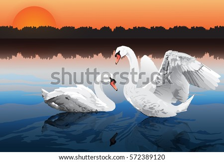 two beautiful swans in lake