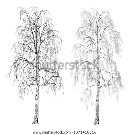 two birches  betula l  without