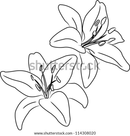 Lily Plant Drawing Two Blooming Asiatic Lilies