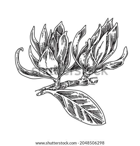 two buds of magnolia champaka