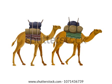 two camels walking with load