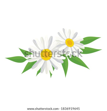 two chamomile flower with green