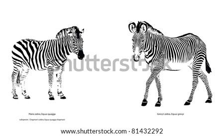 Two Different Zebra Species