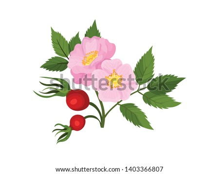 two flowers of wild rose with