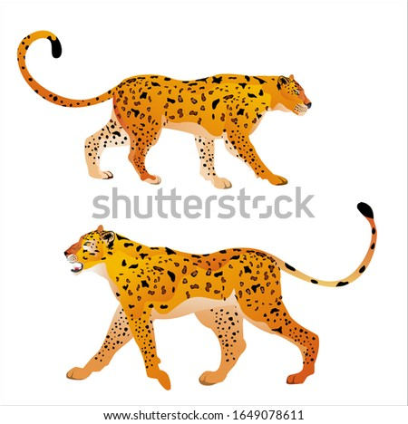 two jaguars on white background
