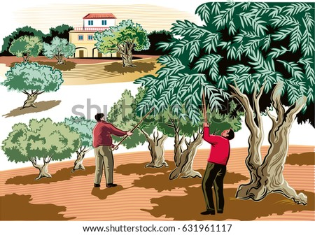 two men collect the olives