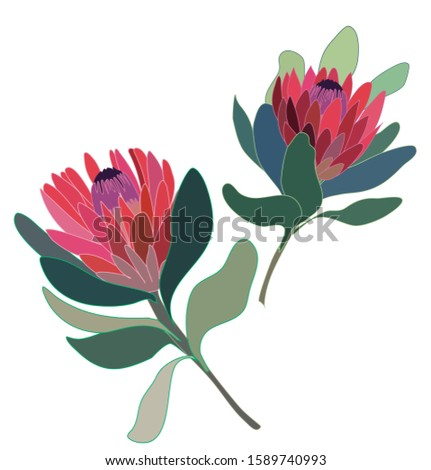 two protea flowers isolated