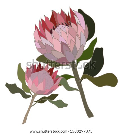 two protea flowers south