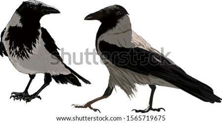 two ravens important sitting on