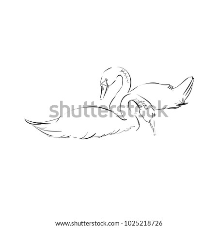 two sketched swans