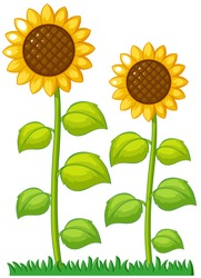 Two sunflowers in the garden illustration