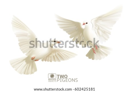 two white pigeons isolated