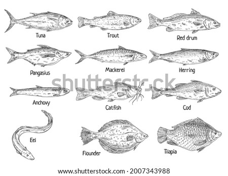 Type different fish isolated on white. Red drum, anchovy, catfishfish, cod, flounder, herring, mackerel, pangasius, tilapia, trout, tuna, ell. Vintage hatching vector monochrome black illustration Stock fotó ©