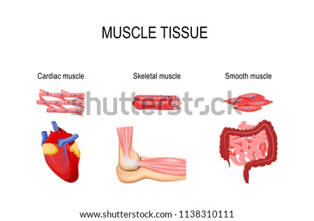 Types of muscle tissue. Skeletal muscle (elbow joint), smooth (gastrointestinal tract) and cardiac muscle (heart). Human internal organs and Muscle cells. vector for medical, educational use