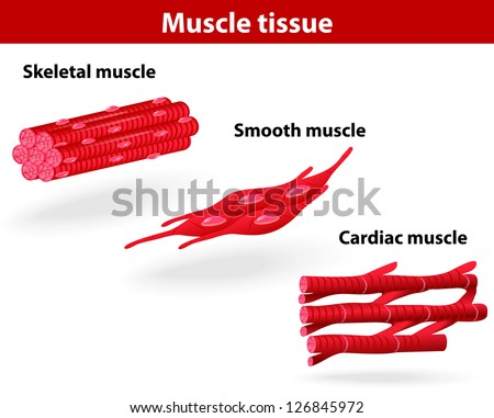 Types of muscle tissue. Skeletal muscle, smooth muscle, cardiac muscle. Vector scheme