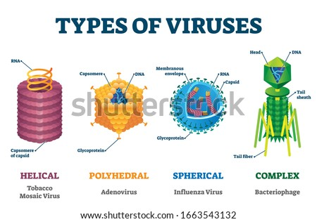 Types of viruses vector illustration labeled drawings. Helical, polyhedral, spherical and complex structure models. Biology science research for epidemic and pandemic crisis public health protection.