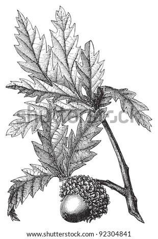 Valonia oak (Quercus Aegilops) / vintage illustration from Meyers Konversations-Lexik on 1897 - stock vector