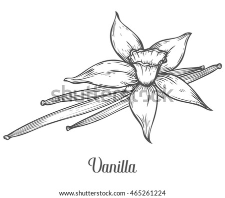 Vanilla flower seed plant branch leaf. Hand drawn sketch vector illustration isolated on white. Spicy herbs. Vanilla Doodle design cooking ingredient for food, dessert. Seasoning Vanilla spice herb.
