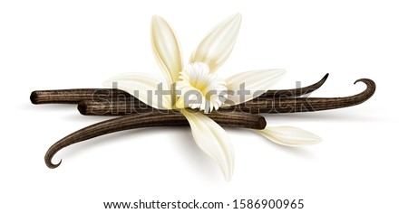 Vanilla flower with dried vanilla sticks and petal. Realistic food cooking condiment. Aromatic seasoning ingredient for cookery and sweet baking, Isolated white background. Eps10 vector illustration.