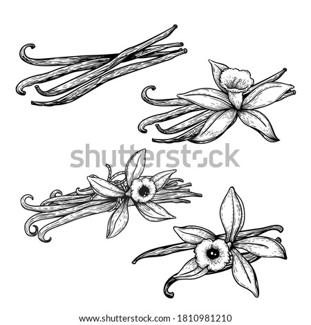 Vanilla flowers and beans set. Hand drawn sketch style vanilla aroma pods. Culinary and aroma needs drawings. Vector illustrations isolated on white background.