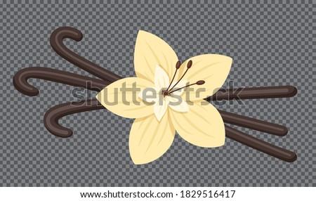Vanilla pods and flower. Vector illustration. Stock vector Photo stock ©