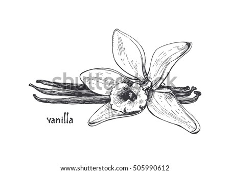 Line Drawing Of Flowers Clipart : Free vector vanilla flower download art stock