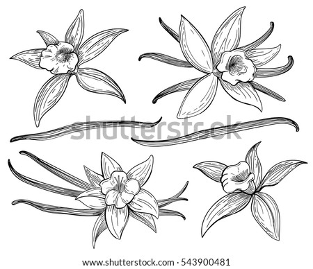 Vanilla pods or sticks hand drawing sketches isolated on white background. Vanillas doodle spicy herbs vector. Vanilla plant flower aroma illustration Photo stock ©