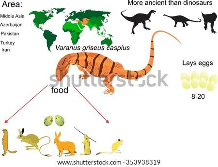 varanus large desert lizard