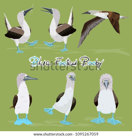 various blue footed booby birds