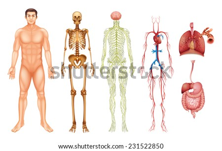 various human body systems and